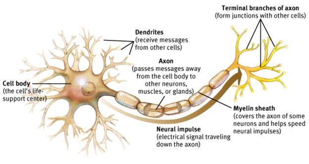 DENDRITES AND AXONS